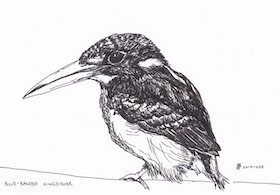 blue-banded-kingfisher-illustration